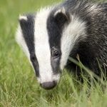 Cornwall's Alternative To Culling Badgers