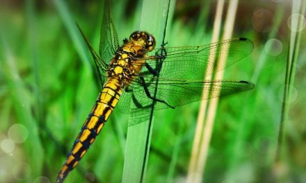 Stover Country Park's Dragonfly Hotspot Is Off To A Flying Start!
