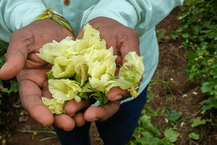 THE FAIRTRADE FOUNDATION LAUNCHES NEW NON-GM COTTON SEED PROJECT