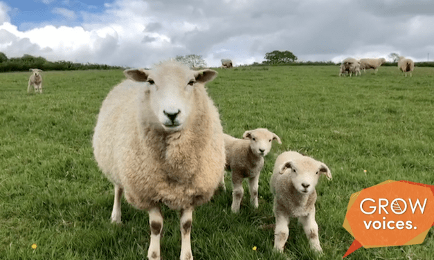 Sheep Farming // Grow Voices // Jen Marsh