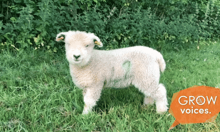 Smily CUTE Lambs // Grow voices // Jen Marshe